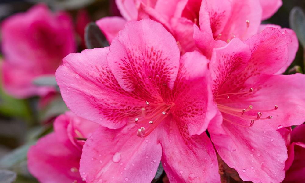 j berry azaleas