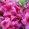Deja Bloom Azalea Pink