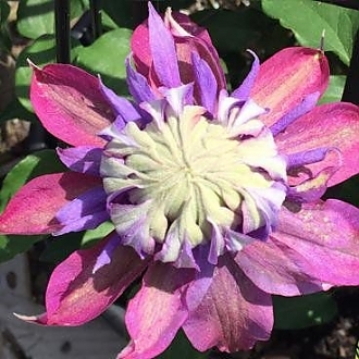 Clematis_Diamantina