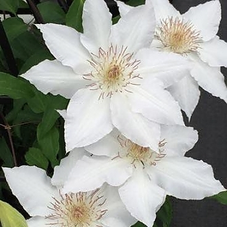Clematis_Hyde_Hall