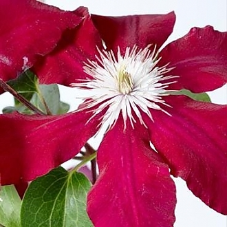 Clematis_Rebecca