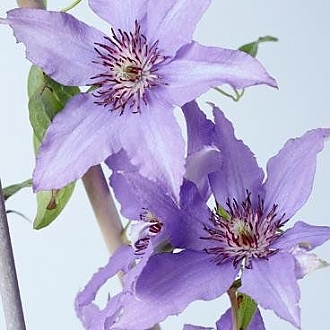 Clematis_Shimmer
