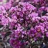 Crape_Myrtle_Purely_Purple_4