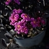 Crape_Myrtle_Purely_Purple