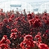 CrapemyrtleBest_Red_2