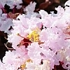 CrapemyrtleBlush_2