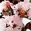 CrapemyrtleBlush