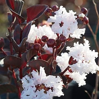 Crapemyrtle_Pure_White