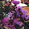 Crapemyrtle_Purely_Purple_2