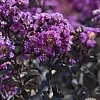 Crapemyrtle_Purely_Purple_3