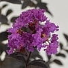Crapemyrtle_Purely_Purple