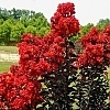 Crapemyrtle_Red_Hot_2