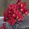 Crapemyrtle_Red_Hot_3