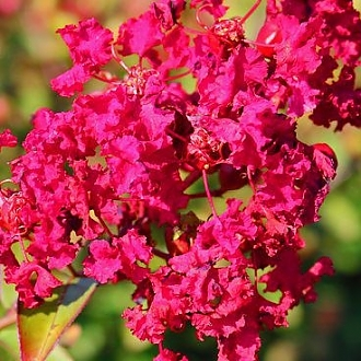 Crapemyrtle_Ruby_Prince