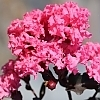 Crapemyrtle_Shell_Pink