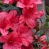 Deja_Bloom_Azalea_Fuchsia_Parasol