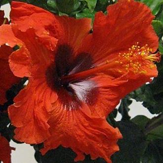 Hibiscus_Firecracker