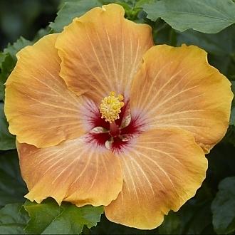 Hibiscus_Gold_Digger