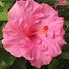 Hibiscus_Jolly_Polly