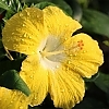 Hibiscus_Leading_Lady