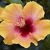 Hibiscus_Social_Butterfly