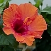 Hollywood_Hibiscus_First_to_Flirt_2