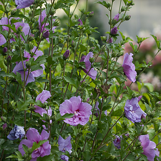 LavenderChiffon