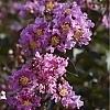 LavenderLace2