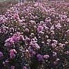 LavenderLace_2