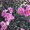 LavenderLace