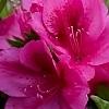 PinkJewelBlossom