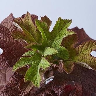 RubySlippersOakleafHydrangeafoliage