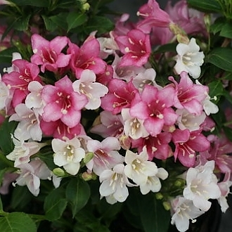 czechmark_trilogy_weigela_2