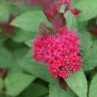 double_play_doozie_spirea_4