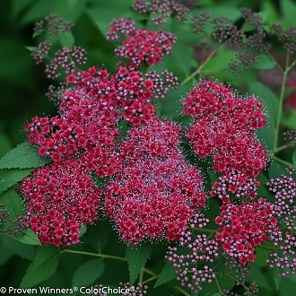 double_play_red_spirea-1