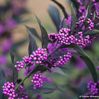 pearl_glam_callicarpa_beauty_berry_purple