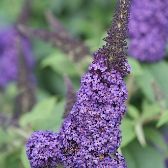 pugster_blue_butterfly_bush_flower_color