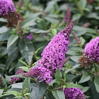 pugster_periwinkle_butterfly_bush_flowers
