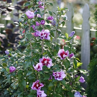 purple_pillar_hibiscus_rose_sharon