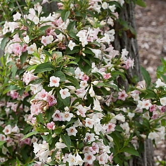 sonic_bloom_pearl_weigela-6832