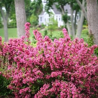 sonic_bloom_pink_weigela-0566