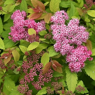 spiraea_double_play_big_bang_img_6898