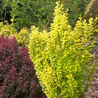 sunjoy_gold_pillar_berberis-1