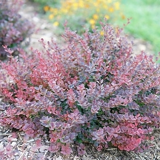 sunjoy_mini_maroon_seedless_barberry_3