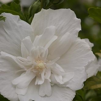 white_chiffon_hibiscus-3925